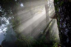Η όμορφη ομίχλη στο δάσος με το φως βρέθηκε Στοκ Εικόνα
