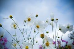 Η όμορφη ονειροπόλος Daisy Στοκ φωτογραφία με δικαίωμα ελεύθερης χρήσης
