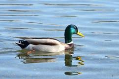 Η όμορφη πάπια χρώματος κολυμπά Στοκ φωτογραφία με δικαίωμα ελεύθερης χρήσης