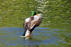 Η όμορφη πάπια χτυπά τα φτερά της πέρα από το νερό στοκ φωτογραφία με δικαίωμα ελεύθερης χρήσης