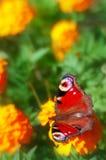 η όμορφη πεταλούδα ανθίζε&i στοκ φωτογραφίες