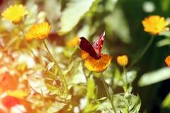 Η όμορφη πεταλούδα κάθεται marigolds Calendula στενό σε επάνω Λουλούδια ιατρικής στοκ εικόνα