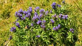 Η όμορφη πεταλούδα έρχεται κάτω στα λουλούδια γεντιανών ιτιών το καλοκαίρι απόθεμα βίντεο