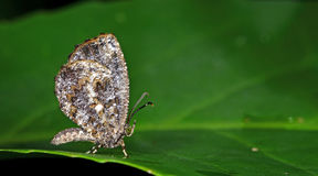 Η όμορφη πεταλούδα, χλωμιάζει διαστίζει, damis marmorata Logania Στοκ Εικόνες