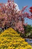 Η όμορφη πλήρης άνθιση των πορφυρών ρόδινων δέντρων ανθών wisteria και των στοκ εικόνα