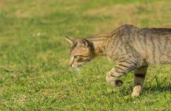 Η όμορφη ριγωτή γάτα είναι στο prowl το απόγευμα στοκ εικόνα