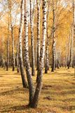 Η όμορφη σκηνή στο κίτρινο δάσος σημύδων φθινοπώρου τον Οκτώβριο με το πεσμένο κίτρινο φθινόπωρο φεύγει Στοκ εικόνα με δικαίωμα ελεύθερης χρήσης