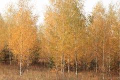 Η όμορφη σκηνή στο κίτρινο δάσος σημύδων φθινοπώρου τον Οκτώβριο με το πεσμένο κίτρινο φθινόπωρο φεύγει Στοκ Φωτογραφία
