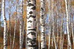 Η όμορφη σκηνή στο κίτρινο δάσος σημύδων φθινοπώρου τον Οκτώβριο με το πεσμένο κίτρινο φθινόπωρο φεύγει Στοκ Φωτογραφίες