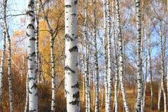 Η όμορφη σκηνή στο κίτρινο δάσος σημύδων φθινοπώρου τον Οκτώβριο με το πεσμένο κίτρινο φθινόπωρο φεύγει Στοκ εικόνες με δικαίωμα ελεύθερης χρήσης