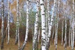 Η όμορφη σκηνή στο κίτρινο δάσος σημύδων φθινοπώρου τον Οκτώβριο με το πεσμένο κίτρινο φθινόπωρο φεύγει Στοκ φωτογραφίες με δικαίωμα ελεύθερης χρήσης
