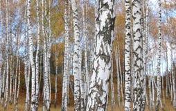 Η όμορφη σκηνή στο κίτρινο δάσος σημύδων φθινοπώρου τον Οκτώβριο με το πεσμένο κίτρινο φθινόπωρο φεύγει Στοκ Εικόνα
