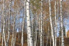 Η όμορφη σκηνή στο κίτρινο δάσος σημύδων φθινοπώρου τον Οκτώβριο με το πεσμένο κίτρινο φθινόπωρο φεύγει Στοκ Εικόνες