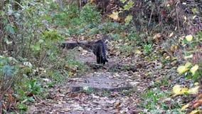 Η όμορφη τιγρέ γάτα εξερευνά την πορεία απόθεμα βίντεο
