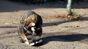 Η όμορφη τιγρέ γάτα με έναν υπαλληλικό κάθεται και έπλυνε απόθεμα βίντεο