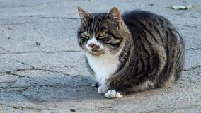 Η όμορφη τιγρέ γάτα με έναν υπαλληλικό κάθεται στην άσφαλτο και κοιτάζει γύρω φιλμ μικρού μήκους