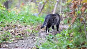 Η όμορφη τιγρέ γάτα στέκεται σε μια πορεία και πήγε έπειτα μακριά απόθεμα βίντεο
