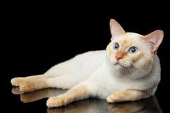 Η όμορφη φυλή χωρίς Mekong Bobtail ουρών γάτα απομόνωσε το μαύρο υπόβαθρο Στοκ εικόνα με δικαίωμα ελεύθερης χρήσης