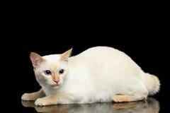 Η όμορφη φυλή χωρίς Mekong Bobtail ουρών γάτα απομόνωσε το μαύρο υπόβαθρο Στοκ Φωτογραφία