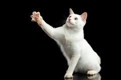 Η όμορφη φυλή χωρίς Mekong Bobtail ουρών γάτα απομόνωσε το μαύρο υπόβαθρο Στοκ φωτογραφία με δικαίωμα ελεύθερης χρήσης