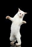 Η όμορφη φυλή χωρίς Mekong Bobtail ουρών γάτα απομόνωσε το μαύρο υπόβαθρο Στοκ Φωτογραφίες