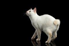 Η όμορφη φυλή χωρίς Mekong Bobtail ουρών γάτα απομόνωσε το μαύρο υπόβαθρο Στοκ εικόνες με δικαίωμα ελεύθερης χρήσης