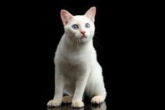 Η όμορφη φυλή χωρίς Mekong Bobtail ουρών γάτα απομόνωσε το μαύρο υπόβαθρο Στοκ Εικόνες