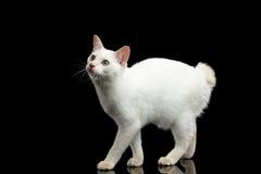 Η όμορφη φυλή χωρίς Mekong Bobtail ουρών γάτα απομόνωσε το μαύρο υπόβαθρο Στοκ Εικόνα