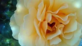 η όμορφη φωτογραφία πετάλων ανασκόπησης αυξήθηκε πολύ Στοκ εικόνα με δικαίωμα ελεύθερης χρήσης