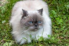 Η όμορφη χνουδωτή γάτα με τα μπλε μάτια κάθεται στοκ εικόνες με δικαίωμα ελεύθερης χρήσης