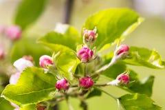 Η όμορφη Apple Blossum Στοκ Εικόνες