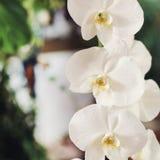 Η όμορφη bloooming άσπρη ορχιδέα ανθίζει κοντά επάνω Στοκ Εικόνες