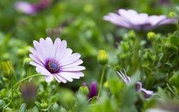 Η όμορφη Daisy στοκ εικόνα με δικαίωμα ελεύθερης χρήσης