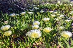 Η όμορφη Daisy Fleabane που ανθίζει στη χλόη στο Σαν Ντιέγκο Παραλία Fleabane ή παραλία Daisy, εγκαταστάσεις glaucus Erigeron Στοκ Εικόνα