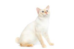 Η όμορφη Mekong Bobtail φυλής γάτα απομόνωσε το άσπρο υπόβαθρο Στοκ Εικόνες