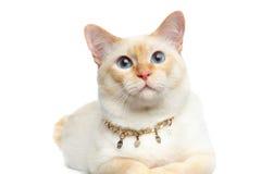 Η όμορφη Mekong Bobtail φυλής γάτα απομόνωσε το άσπρο υπόβαθρο Στοκ φωτογραφίες με δικαίωμα ελεύθερης χρήσης