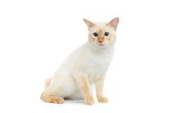 Η όμορφη Mekong Bobtail φυλής γάτα απομόνωσε το άσπρο υπόβαθρο Στοκ εικόνες με δικαίωμα ελεύθερης χρήσης