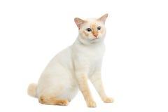 Η όμορφη Mekong Bobtail φυλής γάτα απομόνωσε το άσπρο υπόβαθρο Στοκ Φωτογραφίες