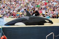 η ύπαρξη δολοφόνος η φάλαινα Στοκ Εικόνα