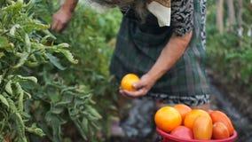 Η ώριμη γυναίκα σχίζει από τις ώριμες μεγάλες κόκκινες ντομάτες θάμνων Η κινηματογράφηση σε πρώτο πλάνο μαυρισμένος παραδίδει τις απόθεμα βίντεο