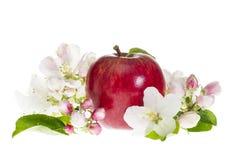 Η ώριμη κόκκινη Apple με το άνθος που απομονώνεται στο λευκό Στοκ Φωτογραφία