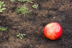 Η ώριμη Apple και μμένη γη Στοκ Φωτογραφία