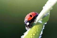 η δροσιά ρίχνει ladybug την άνοιξη Στοκ Εικόνα