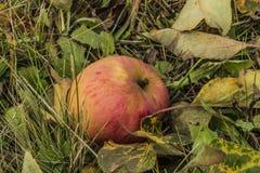 Η Apple στη χλόη και το χρώμα βγάζει φύλλα Στοκ Εικόνα