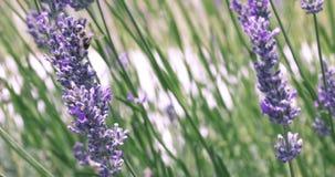 Η bumble μέλισσα κινηματογραφήσεων σε πρώτο πλάνο και η μέλισσα μελιού συλλέγουν τη γύρη από το ίδιο lavender τηλεοπτικό υπόβαθρο απόθεμα βίντεο