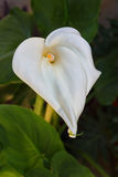 Η Calla ανθίζει lilly στον κήπο Στοκ Εικόνες