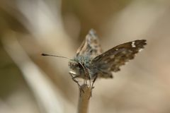 Η Dingy πεταλούδα πλοιάρχων (Erynnis που κολλιέται) εσκαρφάλωσε στο τέλος του μίσχου χλόης Στοκ Εικόνες