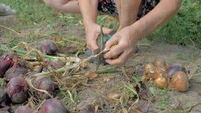 Η Farmer καθαρίζει το ώριμο κρεμμύδι από το περιττό ξεφλούδισμα και το βάζει στο έδαφος για την ξήρανση απόθεμα βίντεο
