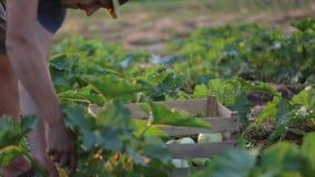 Η Farmer που πηγαίνει στον τομέα με το ξύλινο κιβώτιο της κολοκύνθης και το βάζει στο έδαφος απόθεμα βίντεο
