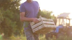 Η Farmer που πηγαίνει στον τομέα με το ξύλινο κιβώτιο των καρότων και το βάζει στο έδαφος απόθεμα βίντεο